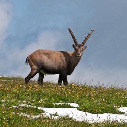 Capra ibex, Steinbock - 2009-07-20_DSC5992