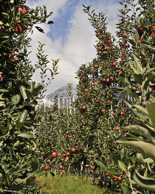 Apfelbäume - 2008-10-04_DSC2269