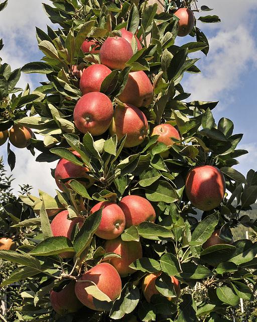 Äpfel am Zweig - 2008-10-04_DSC2272