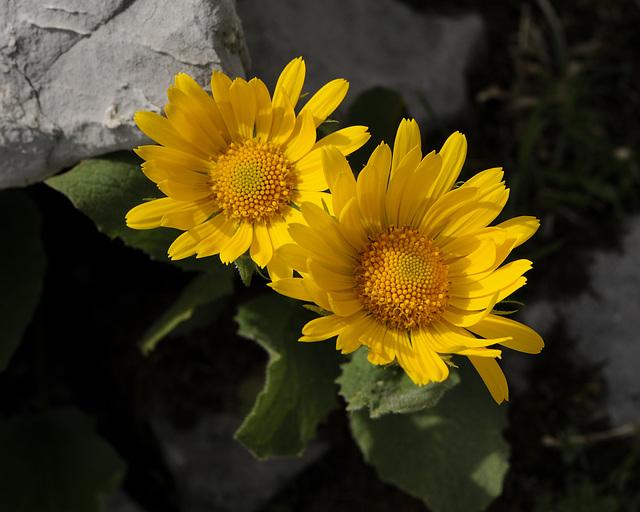 Doronicum spec., Gemswurz - 2008-08-09_DSC1642