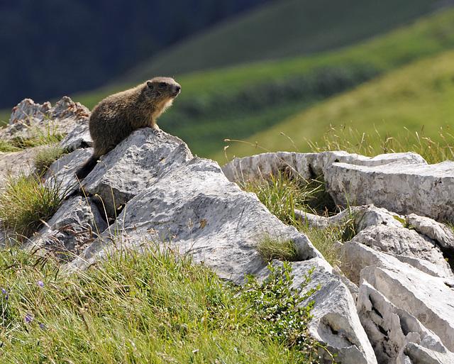 Marmota marmota, Murmeltier - 2008-08-09_DSC1657