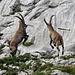 Capra ibex, Steinbock - Allium schoenoprasum, Schnittlauch - 2008-08-09_DSC1603
