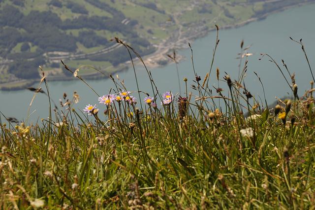 Aster alpinus, Alpenaster - 2008-07-25_DSC1102