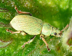 Weevil. Phyllobius Pomaceus