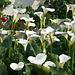 Calla - 2011-04-28-_DSC6733