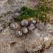Schnecken auf Felsplatte bei Ebbe - 2011-04-29-_DSC6739