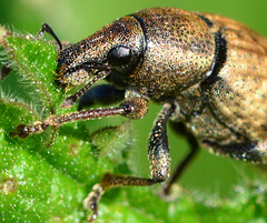 Vine Weevil. Otiorhynchus sulcatus