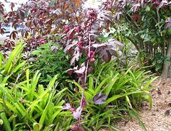 Purple paper lanterns ...Hibiscus acetosella