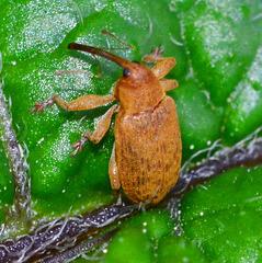 Apionid Weevil. Apion frumentarium