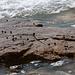 Schnecken auf Felsplatte bei Ebbe - 2011-04-28-_DSC6652