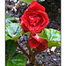 Red Rose with Rain
