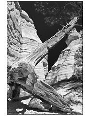 Kasha Ketuwe dead tree and hoodoos in black and white