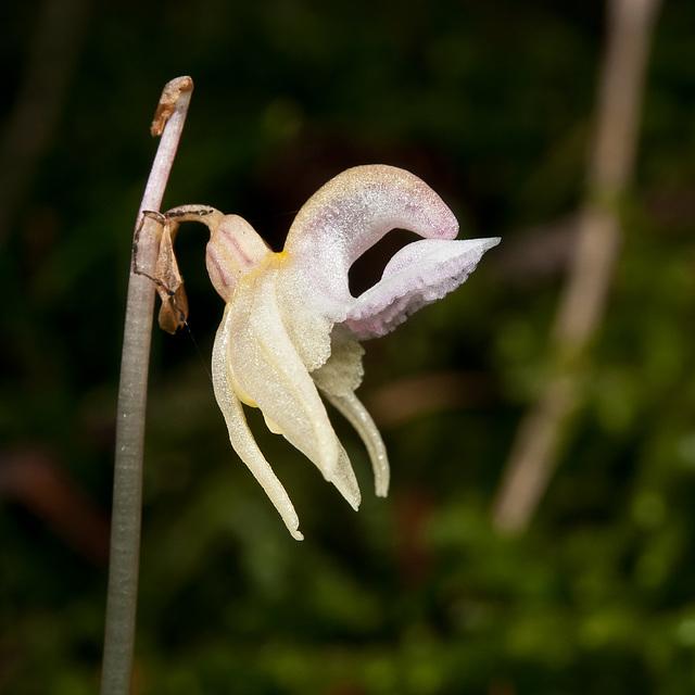 Widerbart, Epipogium aphyllum - 2011-08-17-_DSC1699