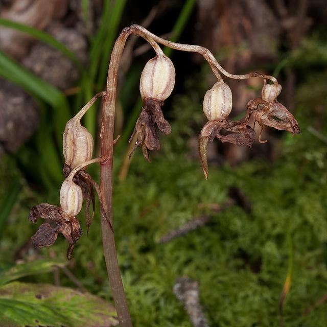 Widerbart, Epipogium aphyllum - 2011-08-17-_DSC1746