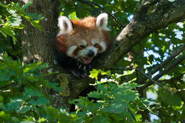 Kleiner Panda, Ailurus fulgens - 2011-08-31-_DSC2483