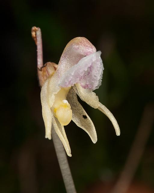 Widerbart, Epipogium aphyllum - 2011-08-17-_DSC1695