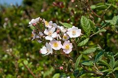 Rosa spec. / cv. - 2011-04-28-_DSC6736.jpg