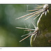Cactus Spines in Bokeh
