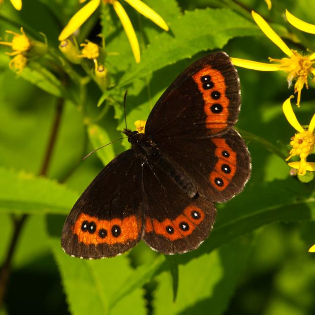 Erebia ligea auf Senecio  spec. - 2011-07-11-_DSC0810
