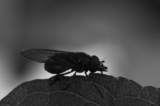 Rhyngia spec. - 2011-07-11-_DSC0728