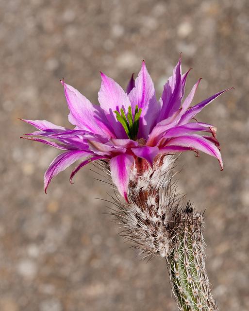 Echinocereus poselgeri - 2011-04-16-_DSC6373