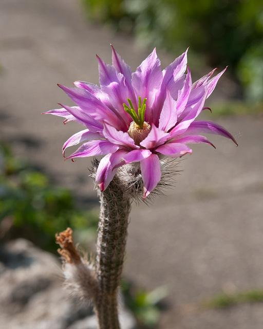 Echinocereus poselgeri - 2011-04-16-_DSC6372