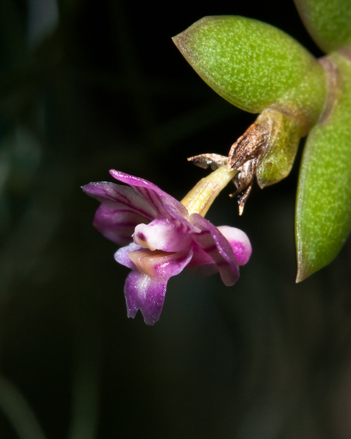 Dendrobium-Hybride - 2010-08-15-_DSC3163