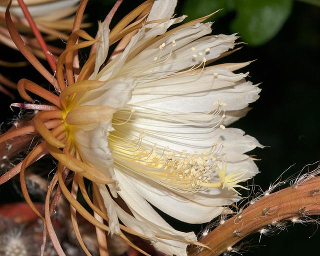 Selenicereus validus - 2010-06-11-_DSC0304