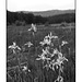 Rio Guadalupe headwaters iris field in black and white
