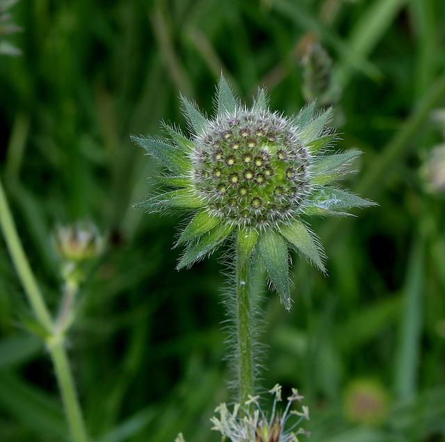 Knautia arvensis (3)