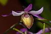 Barkeria naevosa - 2012-02-10-_DSC6105