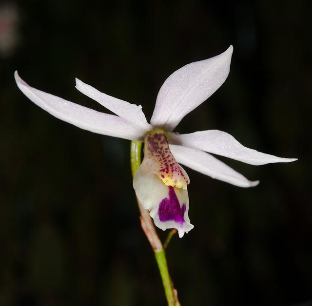 Barkeria uniflora - 2011-11-18-_DSC4903
