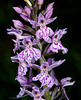 Orchis maculata - 2011-06-30-_DSC9939