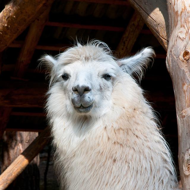 Lama - 2011-12-02-_DSC5106