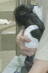 Gorillababy Mary 2 (Wilhelma)