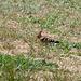 Upupa epops, Wiedehopf - 2011-05-04-_DSC7999