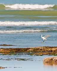 Egretta garzetta (Seidenreiher) im Anflug - 2011-05-05-_DSC8208