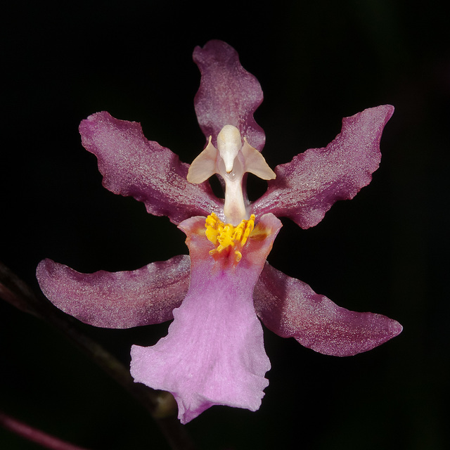 Oncidium ornithorhynchum (Cultivar od. Hybr.) - 2012-01-08-_DSC5894