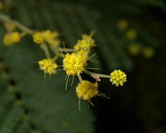 Acacia dealbata - 2012-01-08-_DSC5898