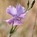 Dianthus gallicus (ws.), Oeillet des dunes - 2011-04-30-_DSC7010