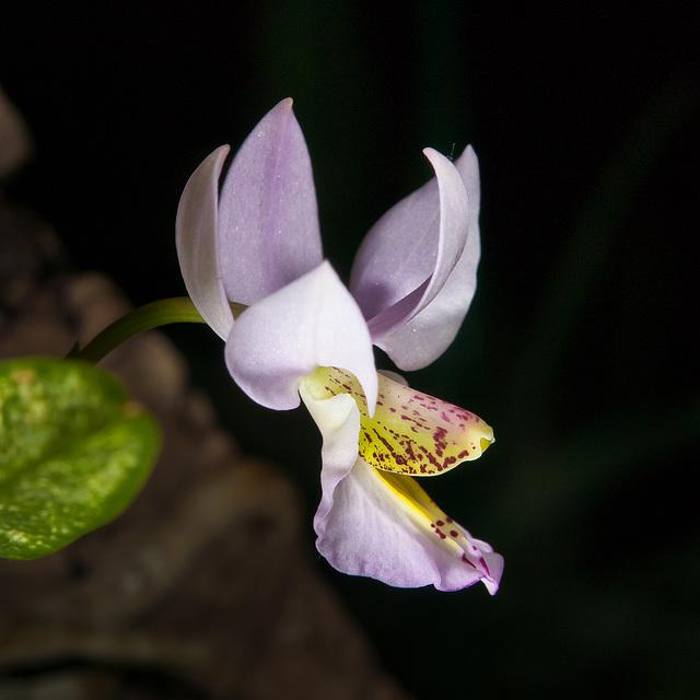 Barkeria whartoniana - 2012-01-10-_DSC5936