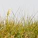 Meerträubchen-Bestand, Ephedra spec., mit Bocksriemenzunge, Himantoglossum hircinum - 2011-04-30-_DSC6998