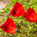 Drei Mohnblüten, Papaver spec., zwischen blühendem Wolfsmilchgewächs, Euphorbia spec. - 2011-04-30-_DSC6993