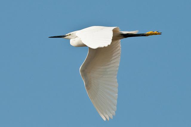 Egretta garzetta (Seidenreiher) im Flug - 2011-04-30-_DSC6919