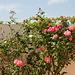 Blühende Rose in kleinem Garten in La Cotinière - 2011-04-30-_DSC6933