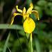 Iris pseudacorus - 2011-04-29-_DSC6876