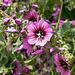 Blühendes Malvengewächs - 2011-04-29-_DSC6803