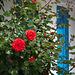Rote Rosen an einem Haus mit kleinem Garten in La Cotinière - 2011-04-29-_DSC6799