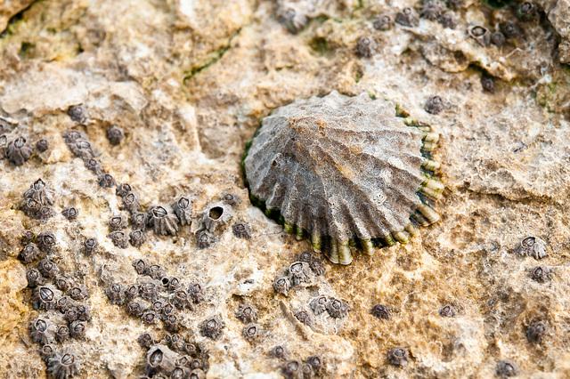 Napfschnecke und ... auf Felsplatte bei Ebbe - 2011-04-29-_DSC6751