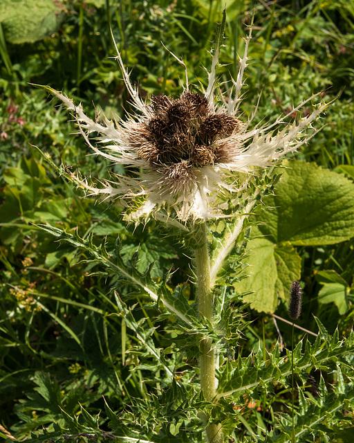 Cirsium spinosissimum - 2012-08-02-_DSC1455